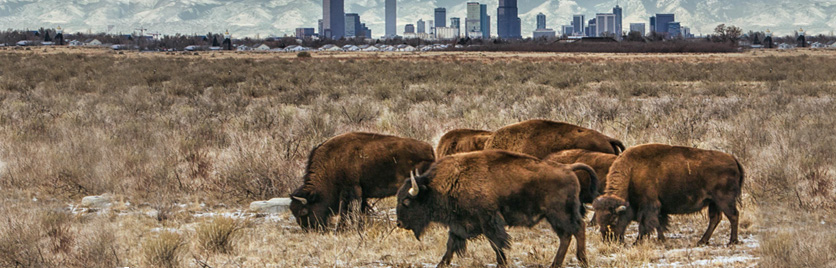 "Hans Wastson, ""Bison Outside of Denver."""
